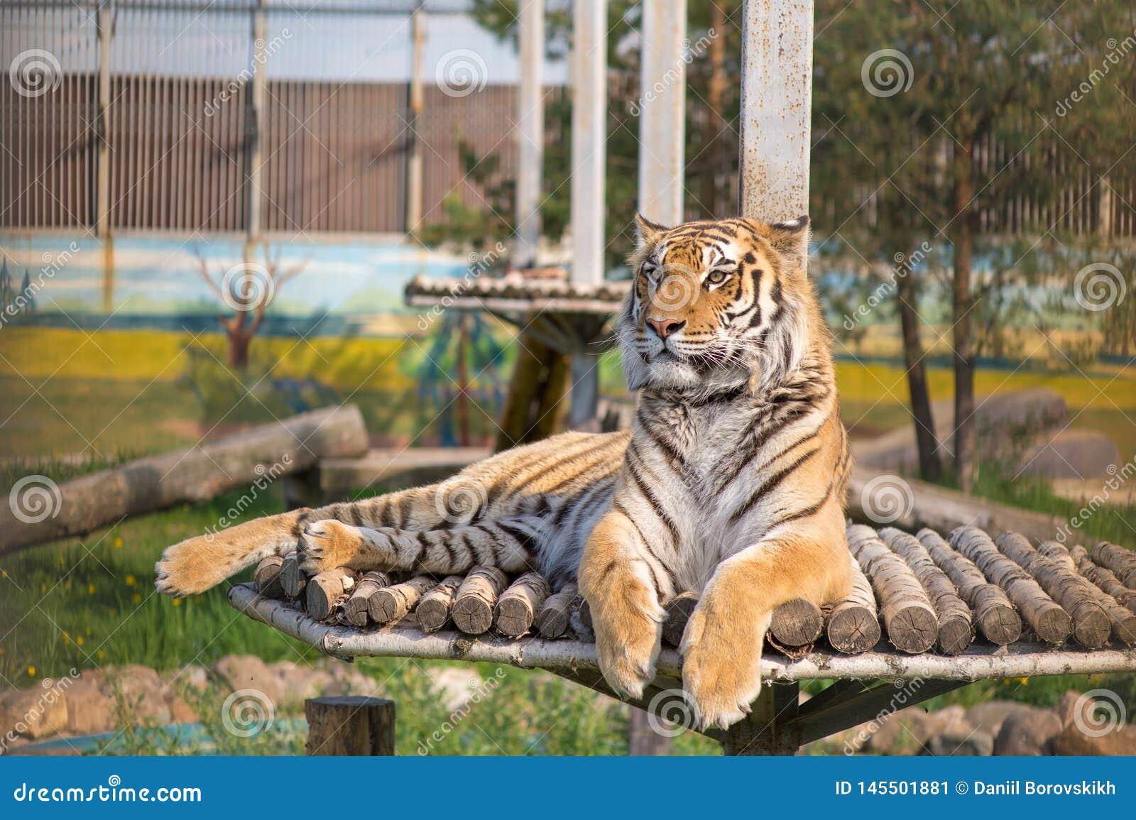 Tygrys jest odpoczynkowy na wzgórzu