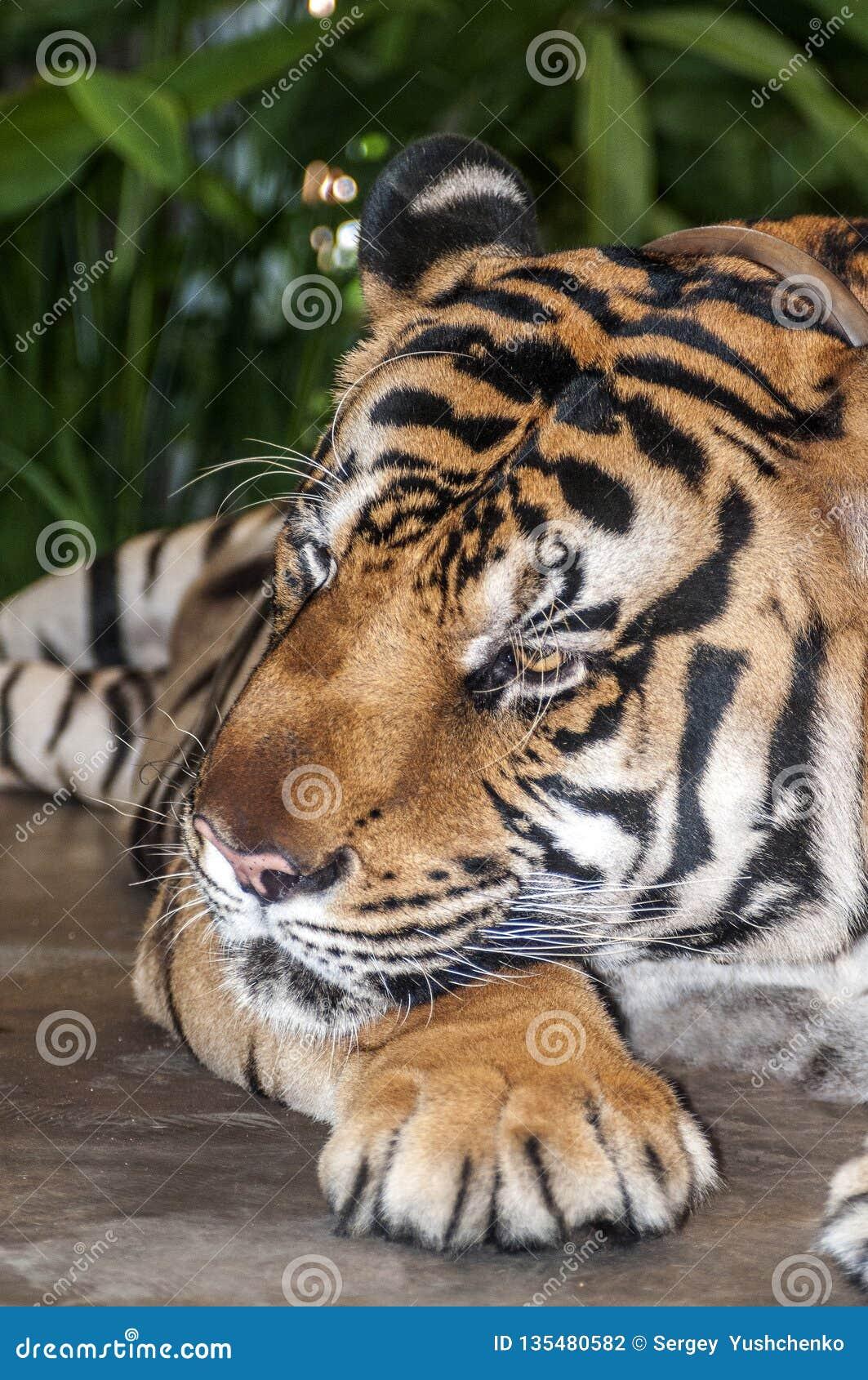 Tygrys jest wielkim i niebezpiecznym carnivore kot rodzina
