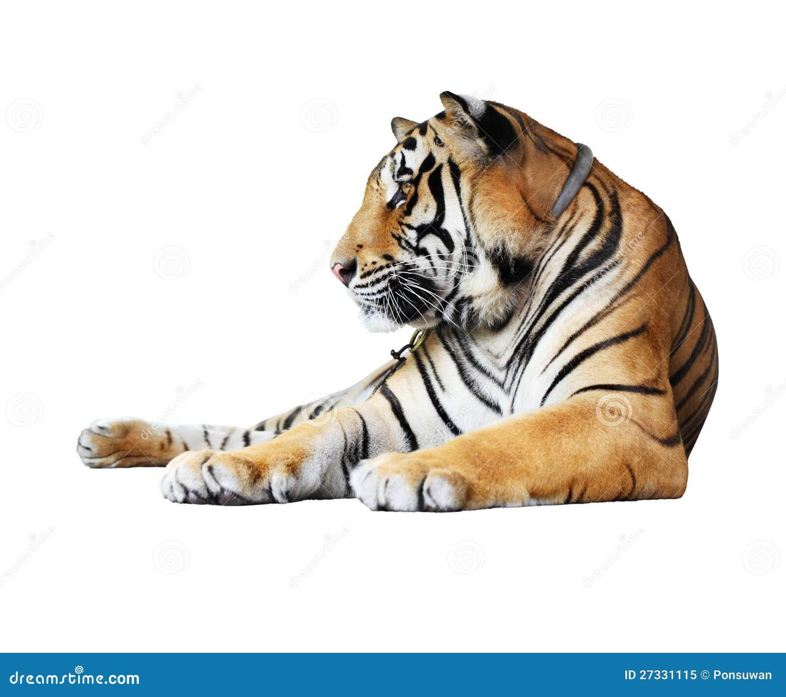 Tygrys odizolowywający
