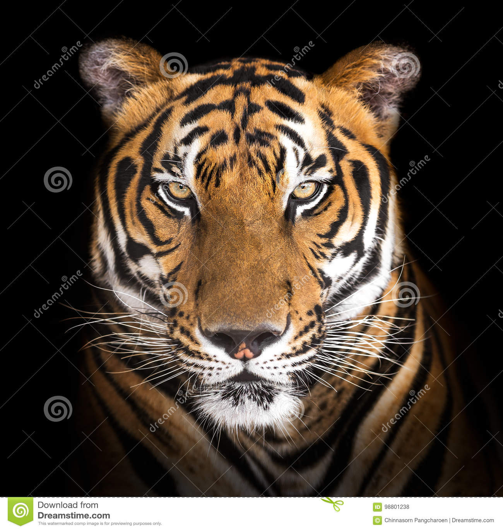 Tygrys siberian