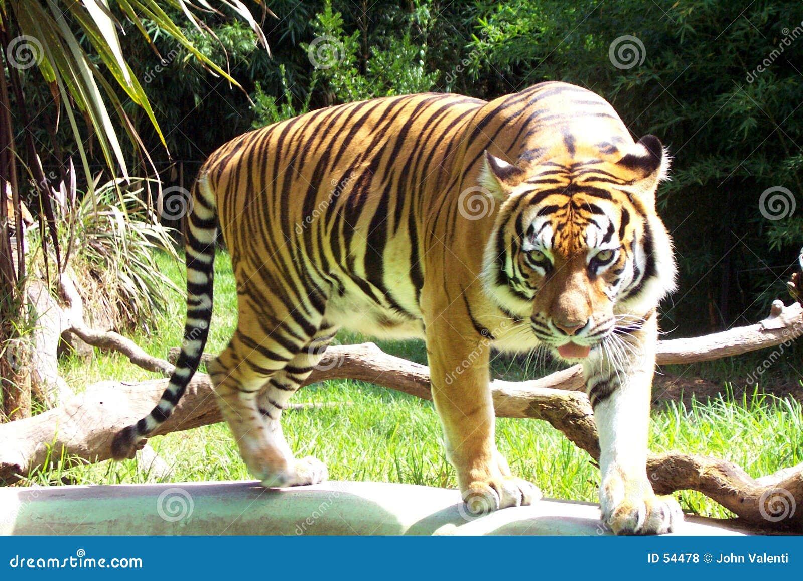 Tygrys sumatryjskiej