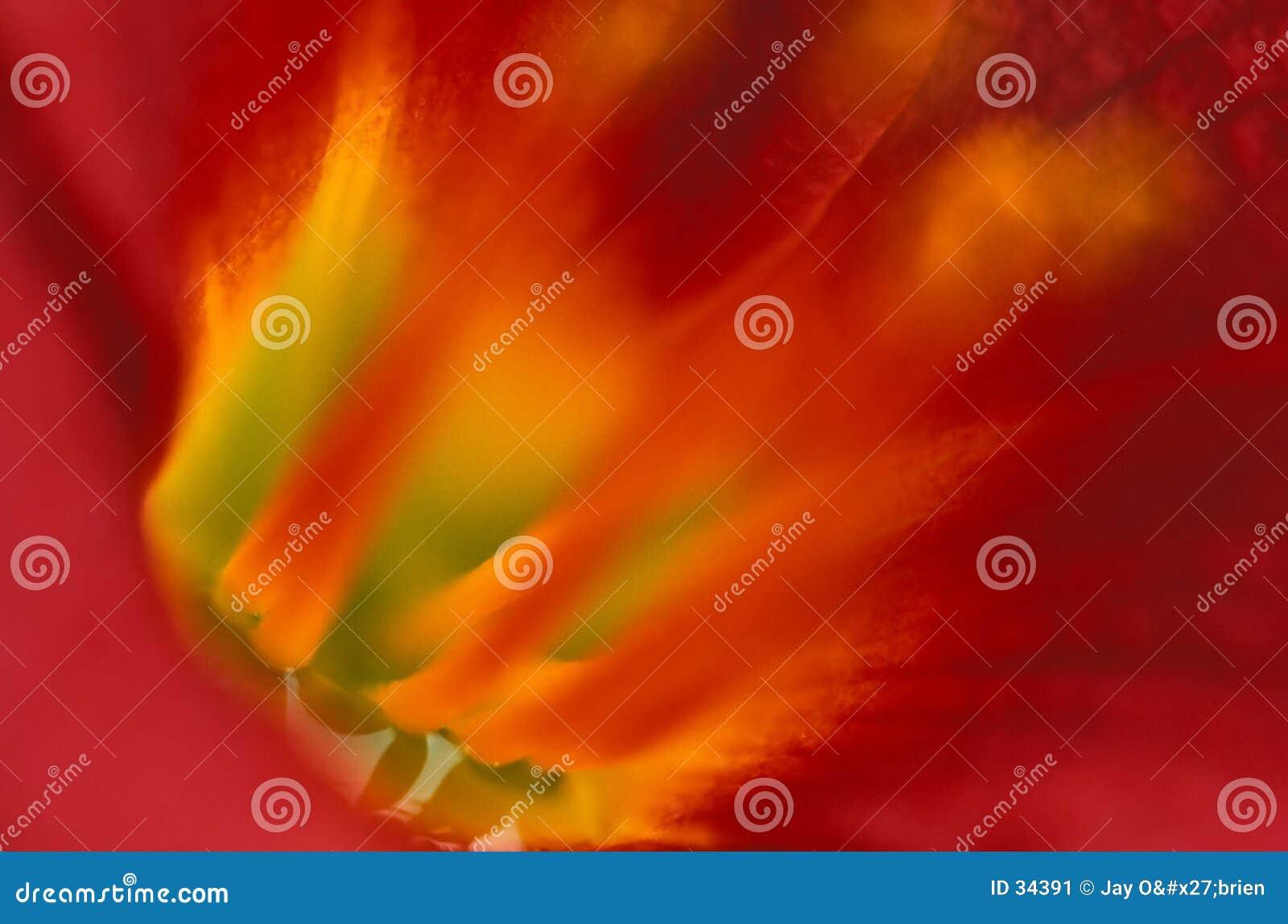 Tygrys wewnętrznego lilly
