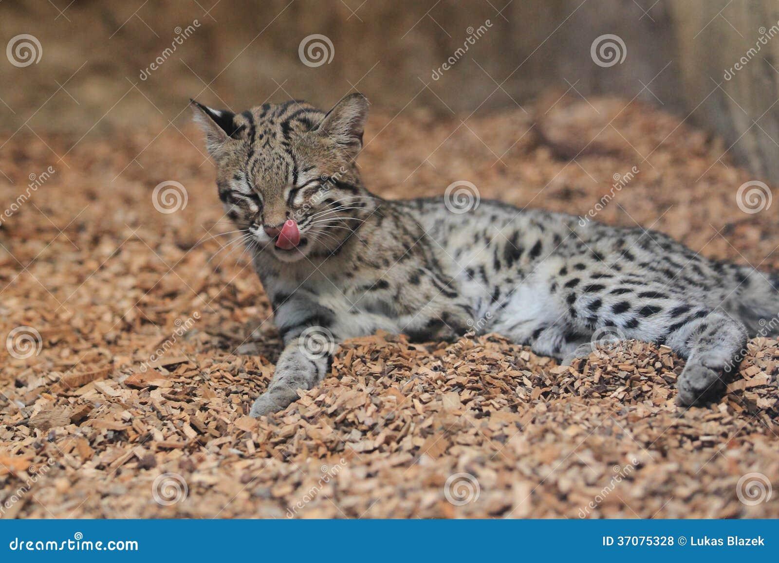 Download Tygrysi kot zdjęcie stock. Obraz złożonej z ziemia, natura - 37075328