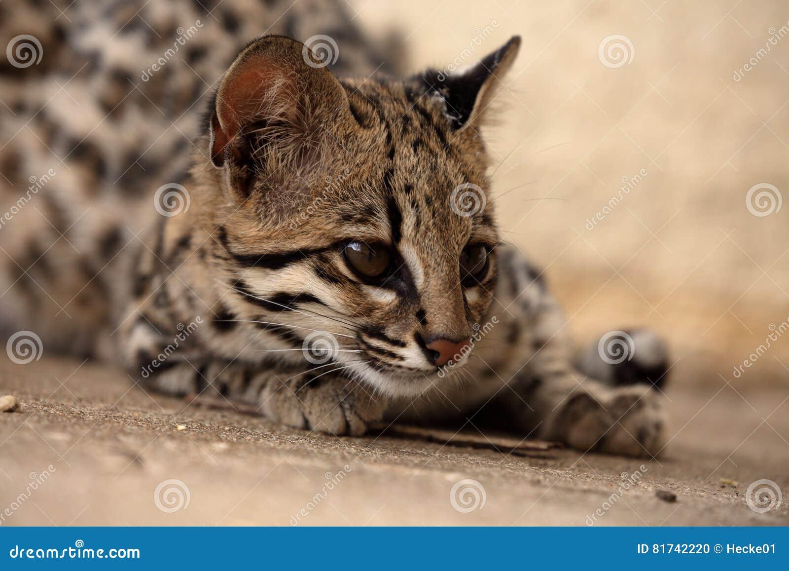 Kot Tygrysi