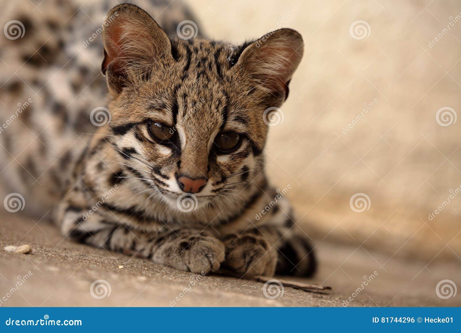 Tygrysi Kot Lub Ocelot Kot Od Brazylia Zdjęcie Stock Obraz