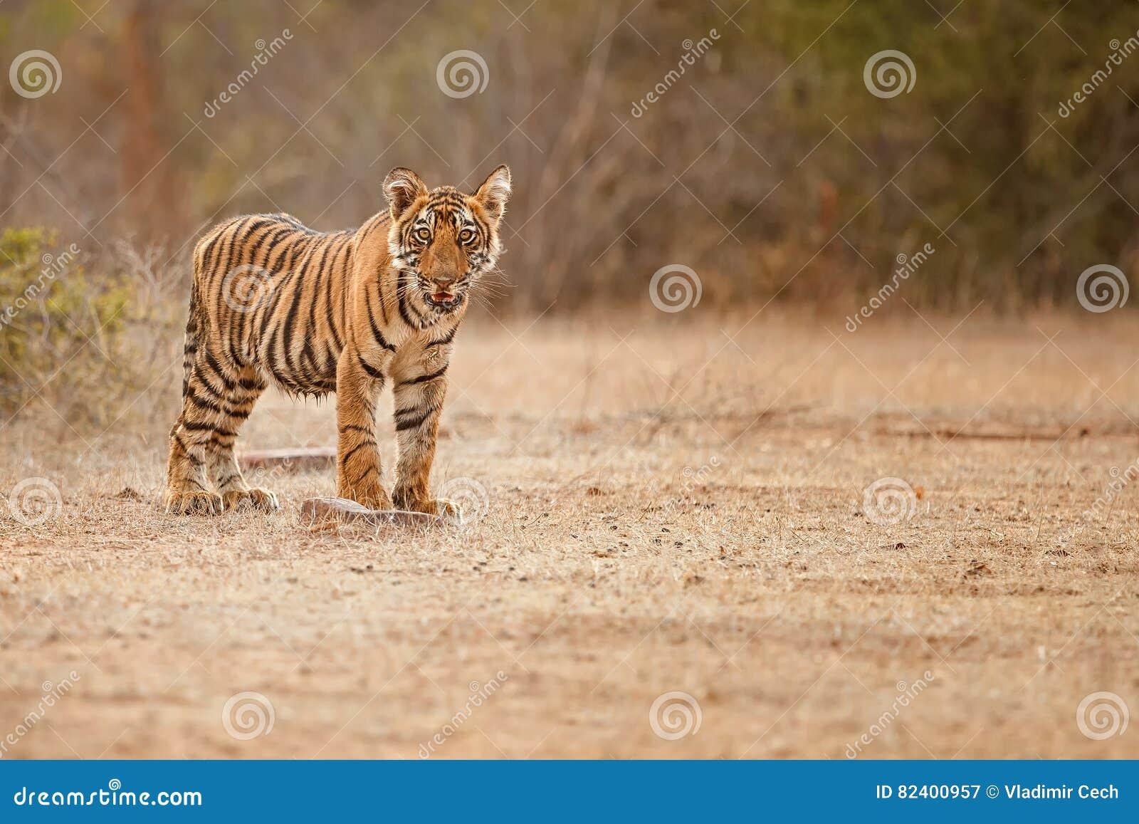 Tygrysi lisiątko w pięknym złotym świetle w natury siedlisku Ranthambhore park narodowy