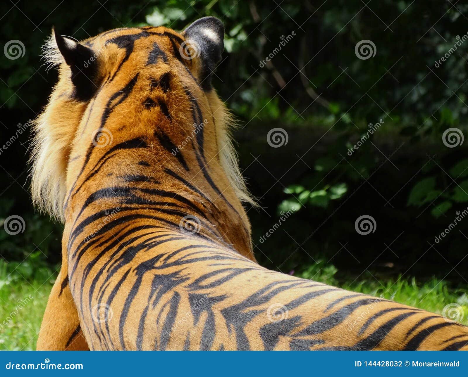 Tygrysi lying on the beach w zoo w Augsburskim w Germany