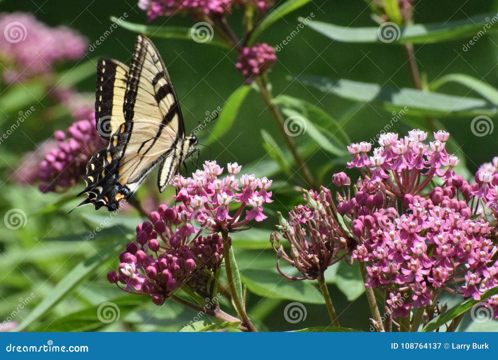 Tygrysi Swallowtail Papilio Motyli glaucus