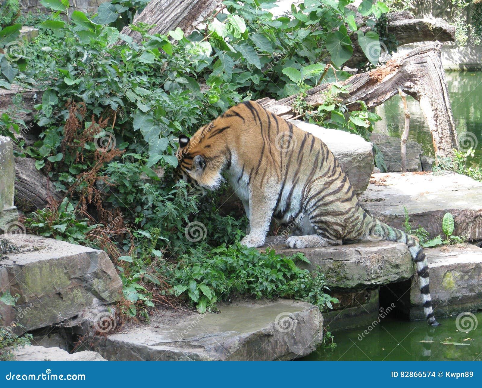 Tygrysia pobliska woda Zoo Belgia