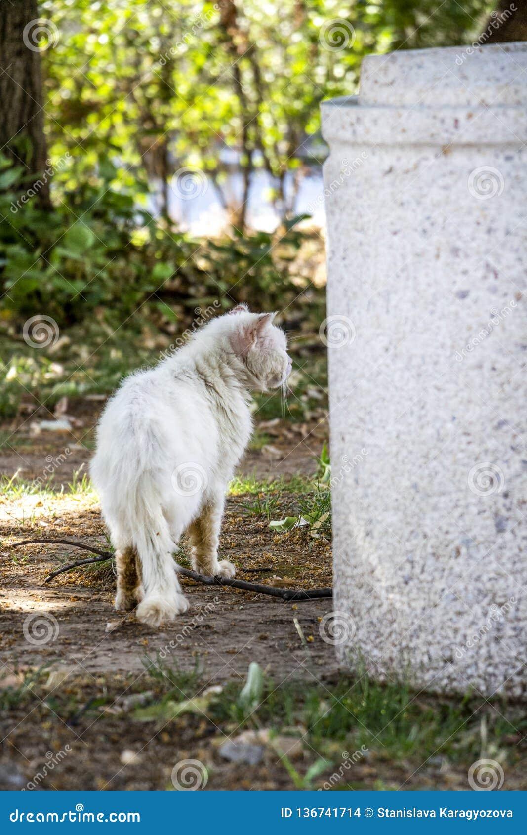 Tylni widok bezpański raniący i chory biały długowłosy tomcat obok betonowego ulicznego kubła na śmieci