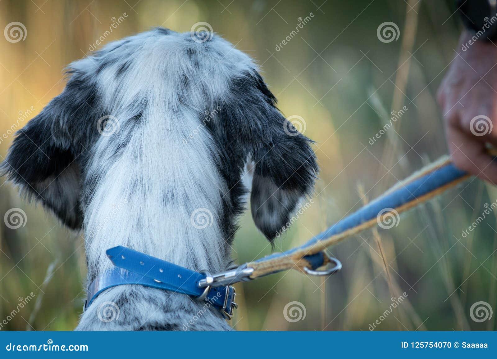 Tylni widok pointer zarodowa psia głowa z właściciel patką i ręką
