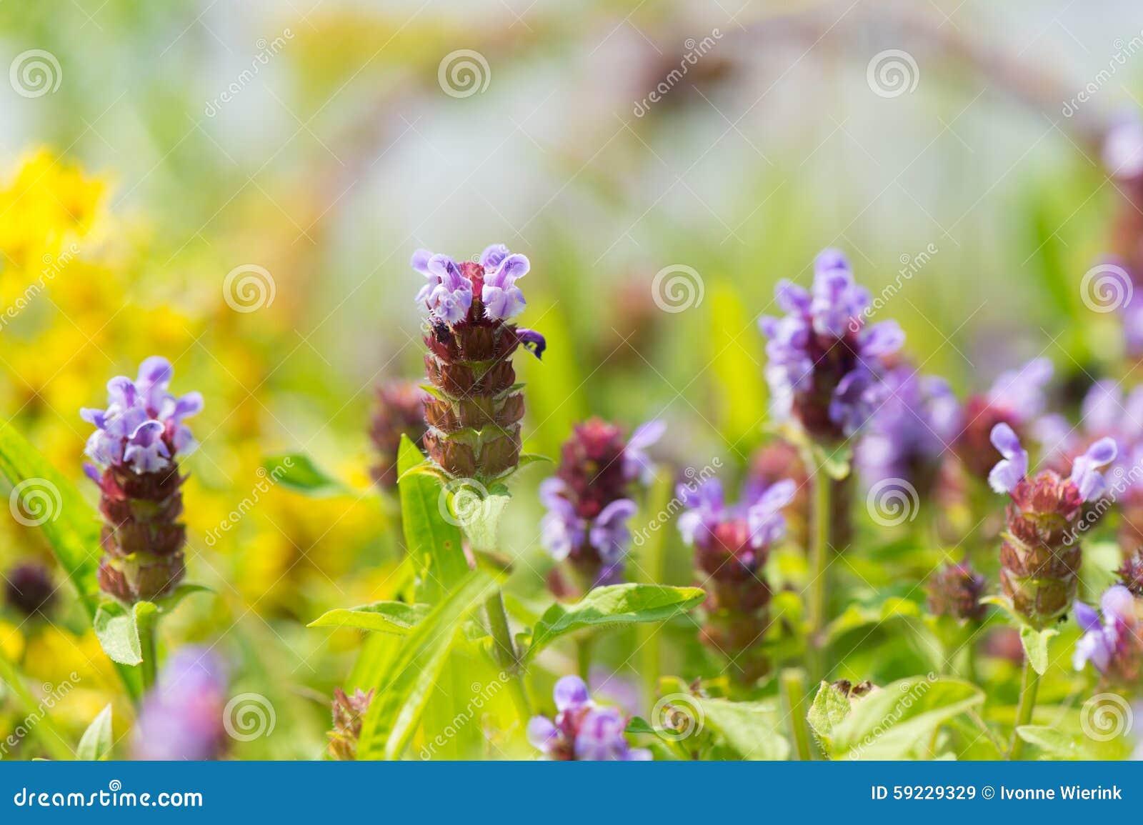 Download Tyme salvaje imagen de archivo. Imagen de floración, lila - 59229329