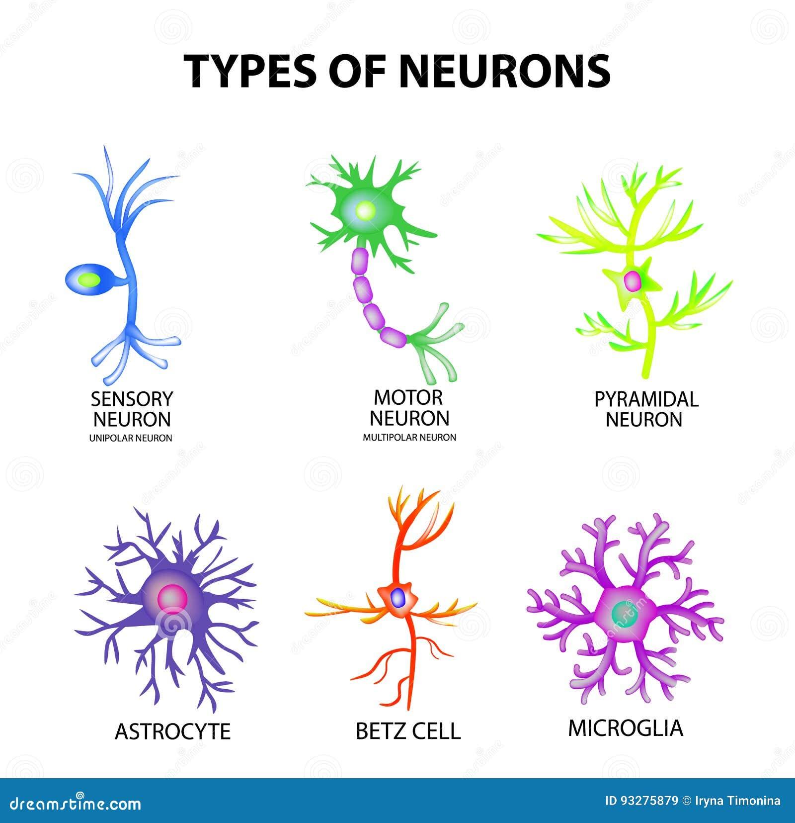 Typ neurony Konstruuje sensualnego, motorowego neuron, astrocyt, pyromidal, Betz komórka, microglia Set Infographics wektor