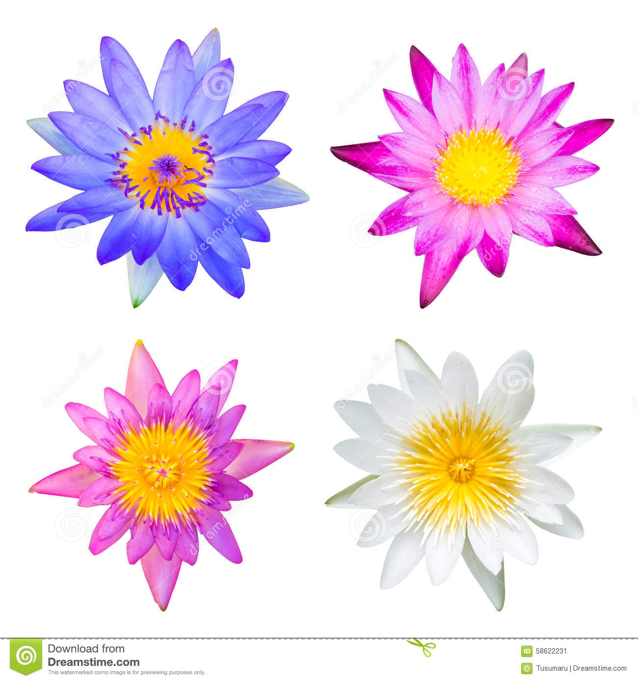 Type of lotus stock image image of summer pond lotus 58622231 colorful of different type lotus flowers mightylinksfo
