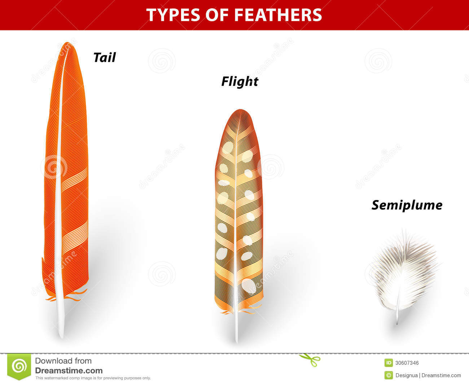Types Of Bird Feathers Stock Vector  Illustration Of Animal