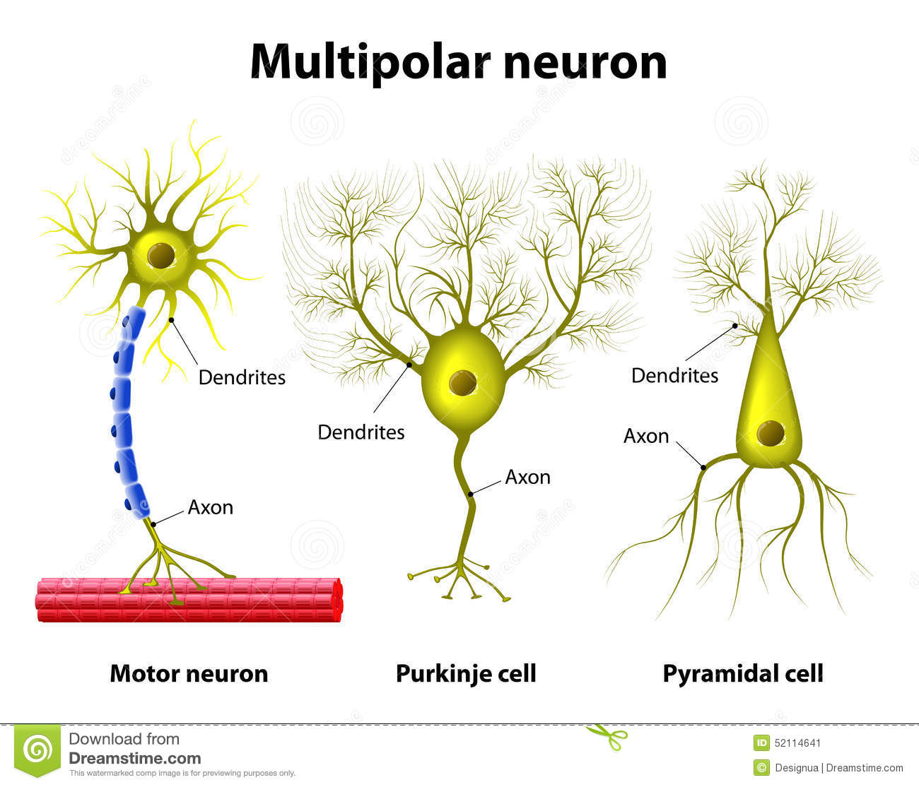 Types Of A Multipolar Neurons Stock Illustration - Illustration of ...