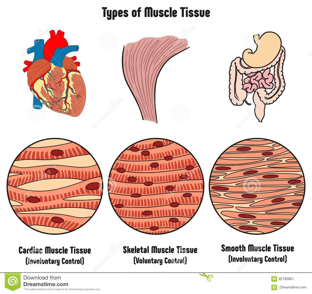 Amazing Types Of Muscle Tissue Of Human Body Diagram Stock Vector Wiring Cloud Hisonuggs Outletorg