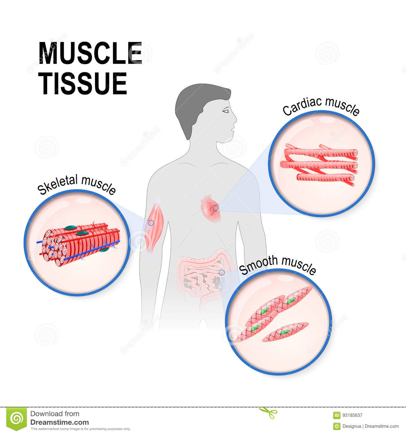 types of muscle tissue. stock vector. illustration of education