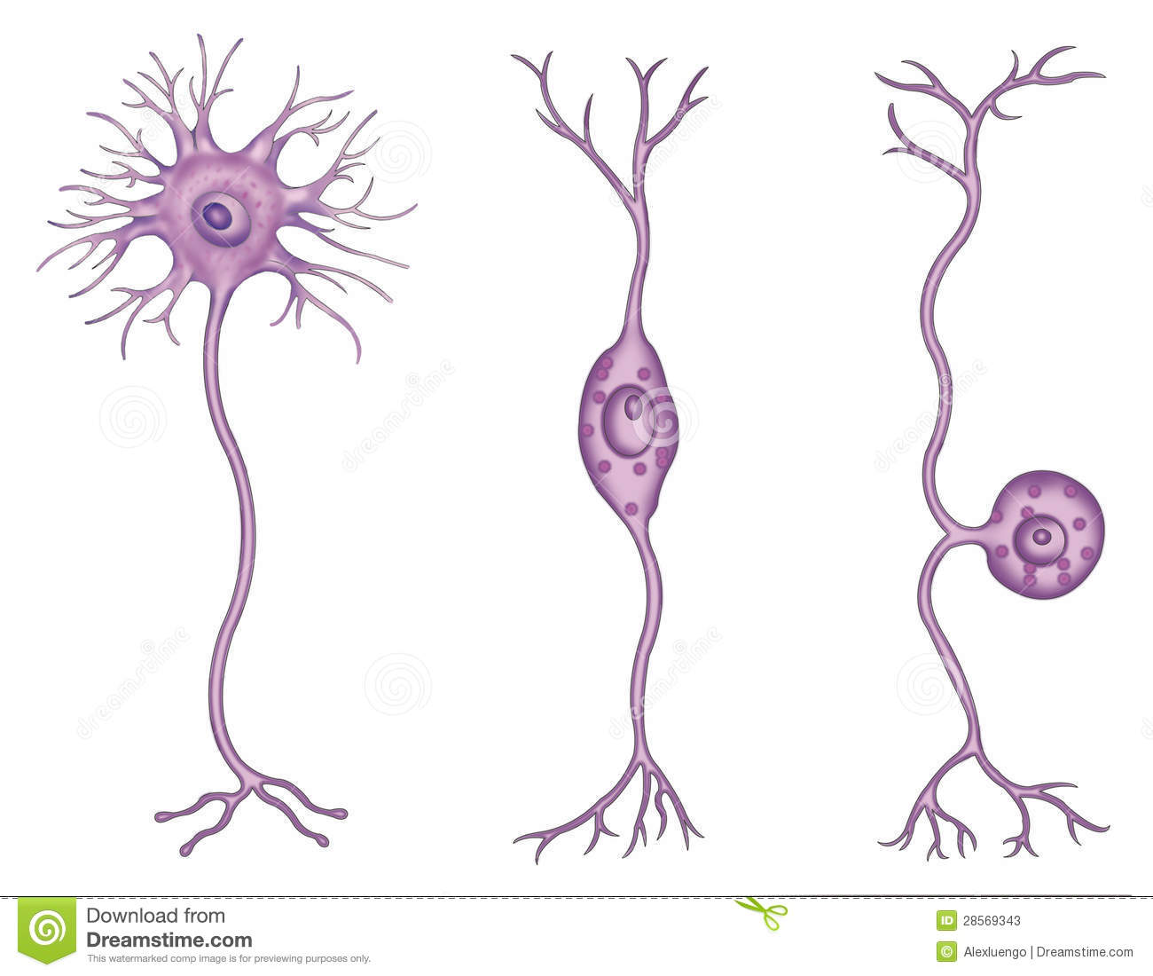 Types Of Neurons Stock Photos - Image: 28569343