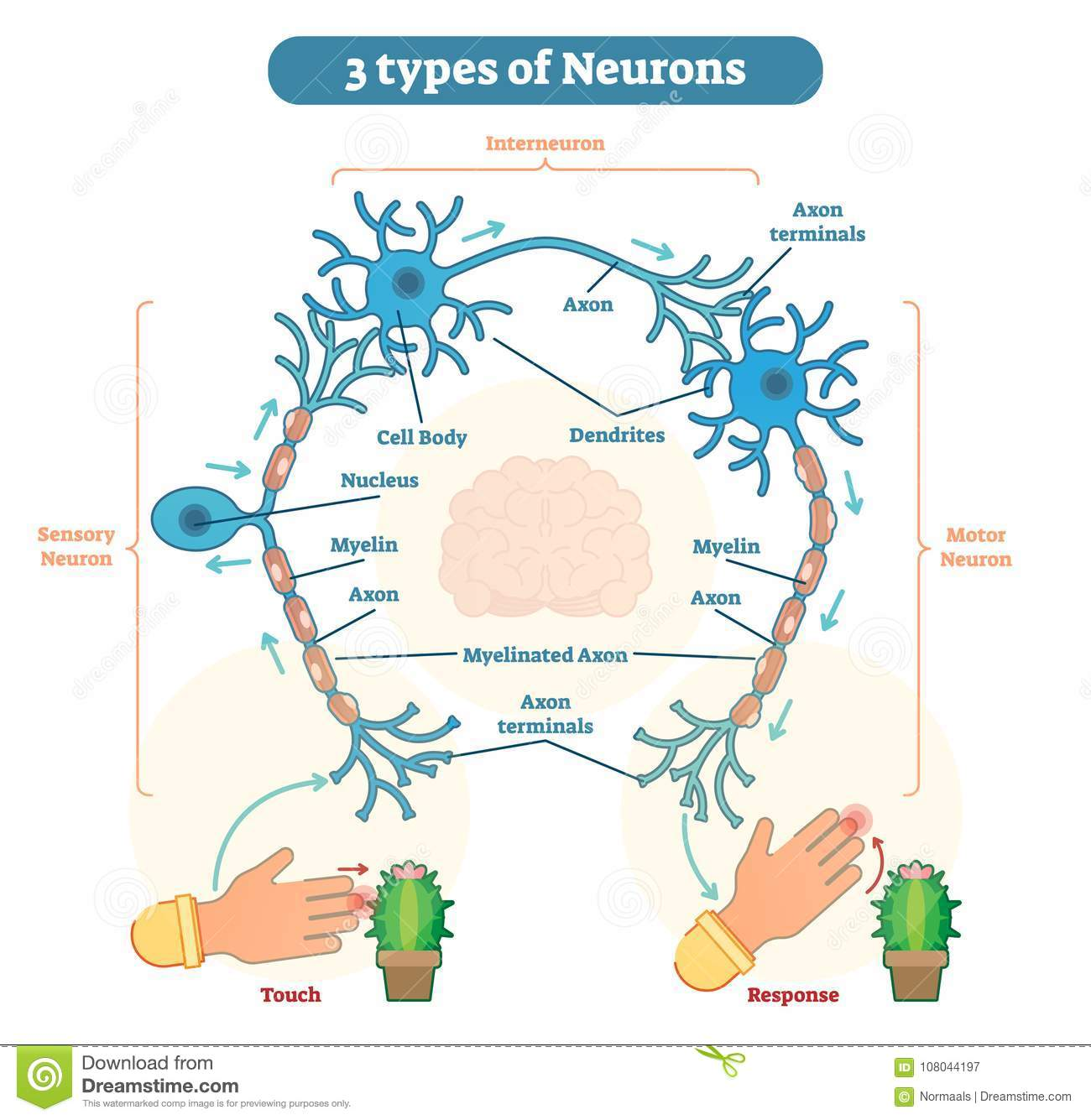 Types of neurons sensory intereuron motor stock vector types of neurons sensory intereuron motor ccuart Image collections
