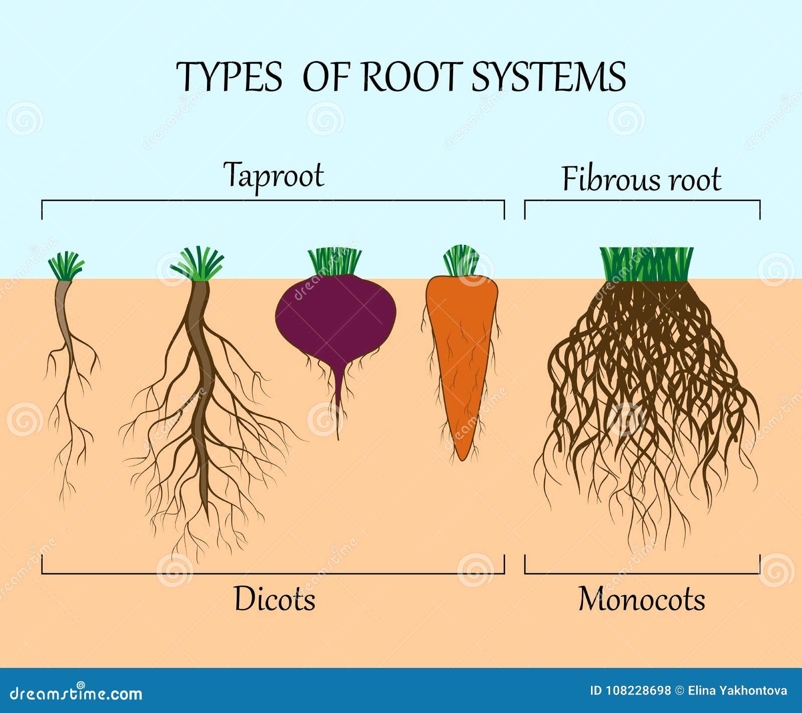 Types van wortelsystemen van installaties, monosots en dicots in de grond in besnoeiing, onderwijsaffiche, vectorillustratie