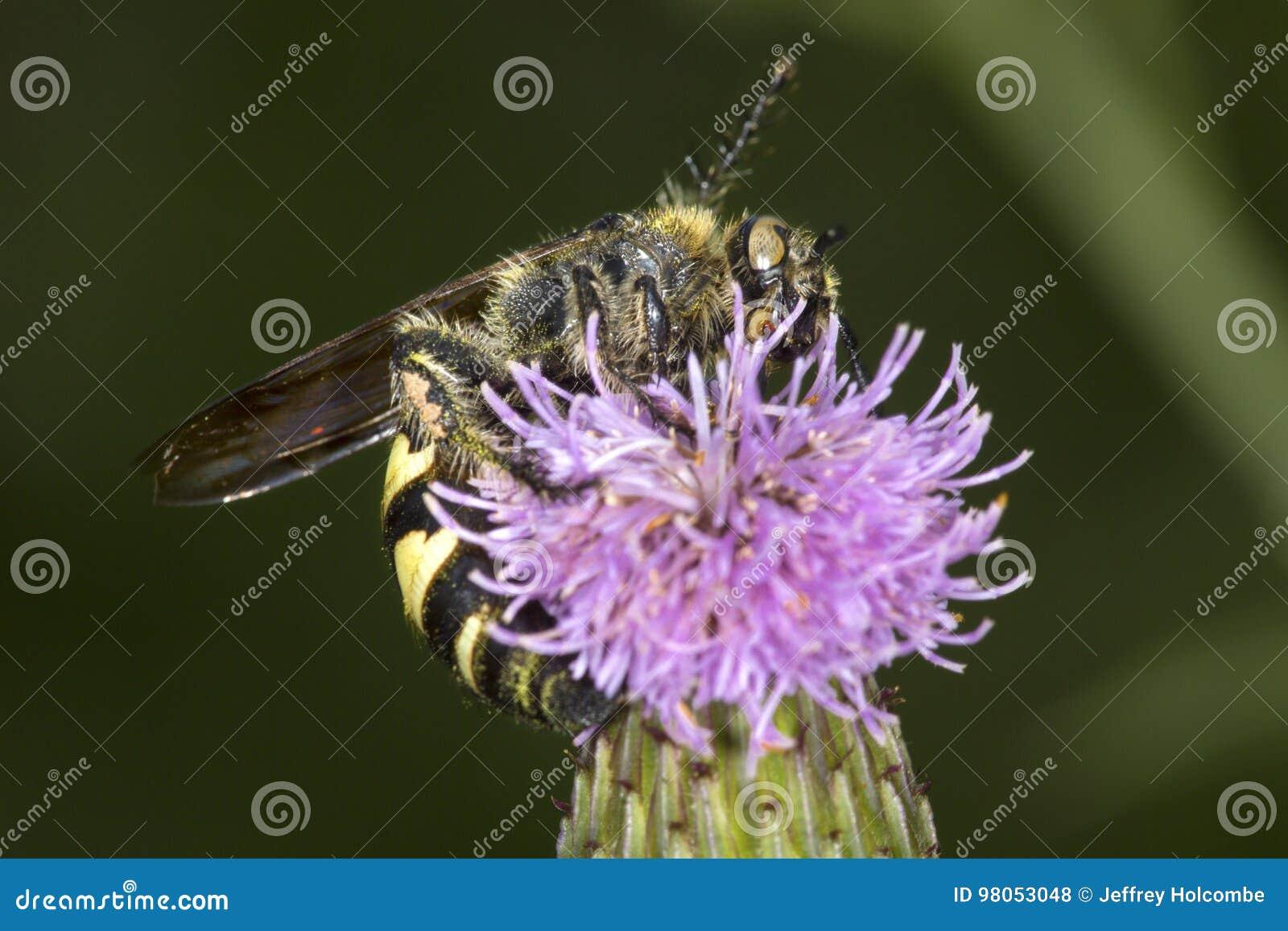 Typhiid-Wespe, die für Nektar auf einer purpurroten Distelblume prüft