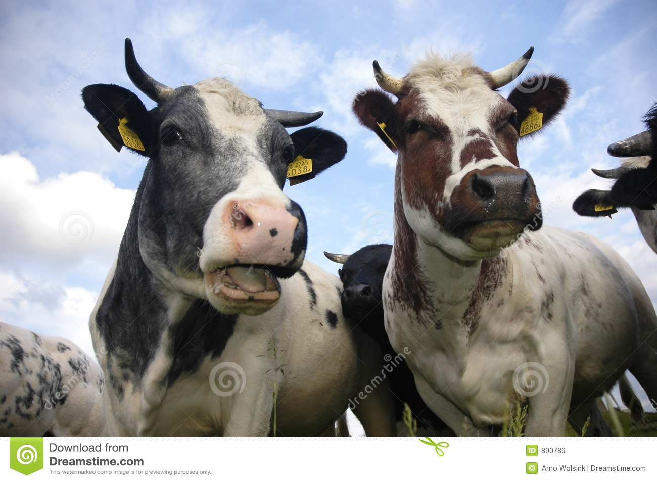 Typical Dutch cows stock image. Image of farm, agriculture ...