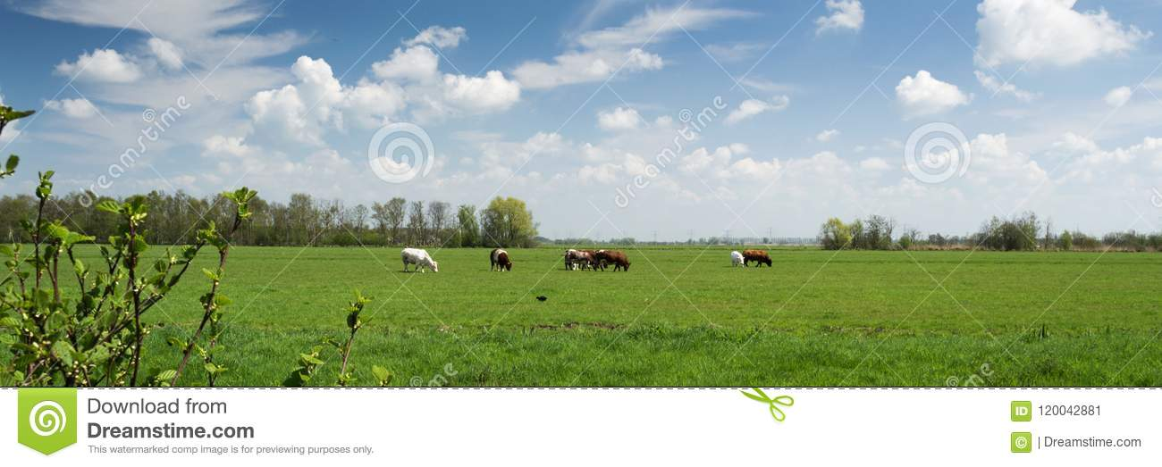 typical dutch landscape panorama with cows grassland trees blue