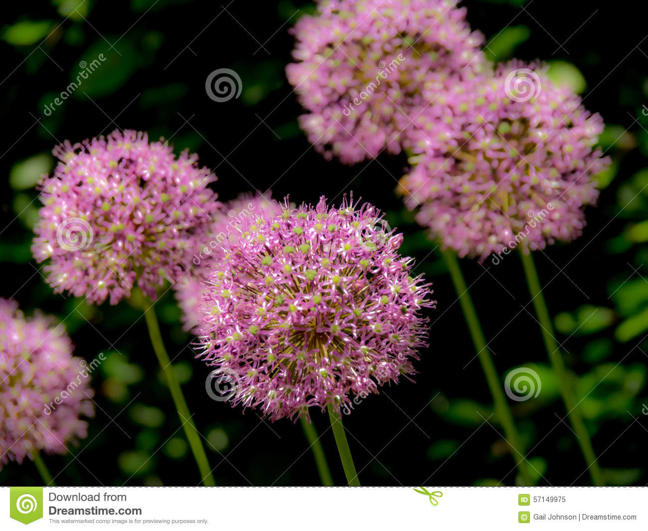 Typical English Garden Flower Stock Photo Image 57149975