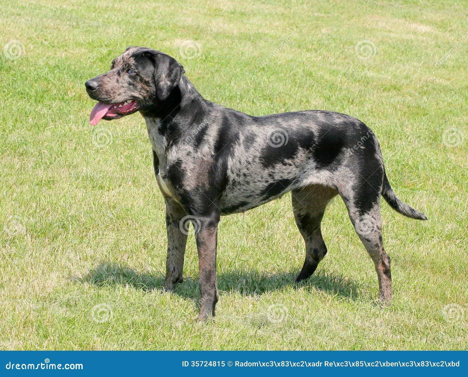 Louisiana Breed Of Dog
