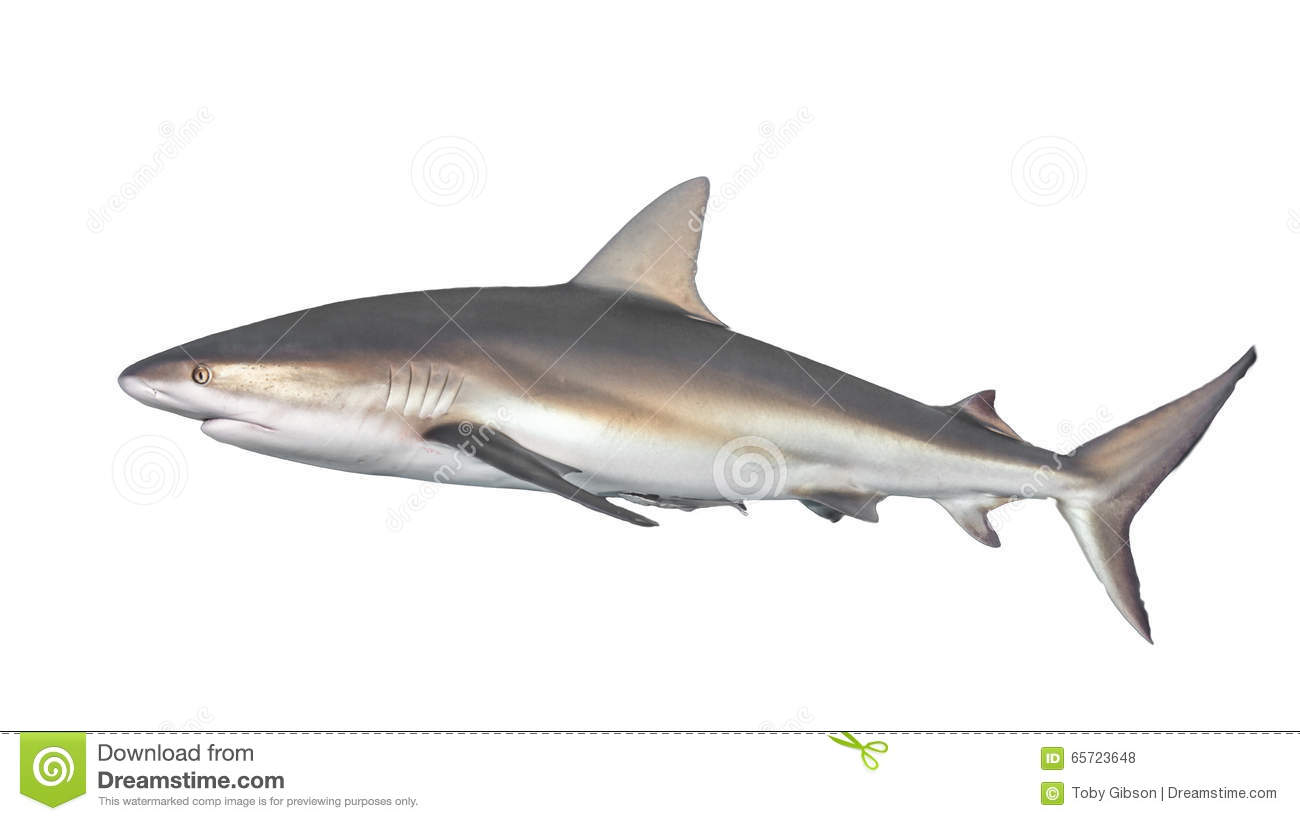 Typical Side-on View Of Shark Stock Photo - Image of