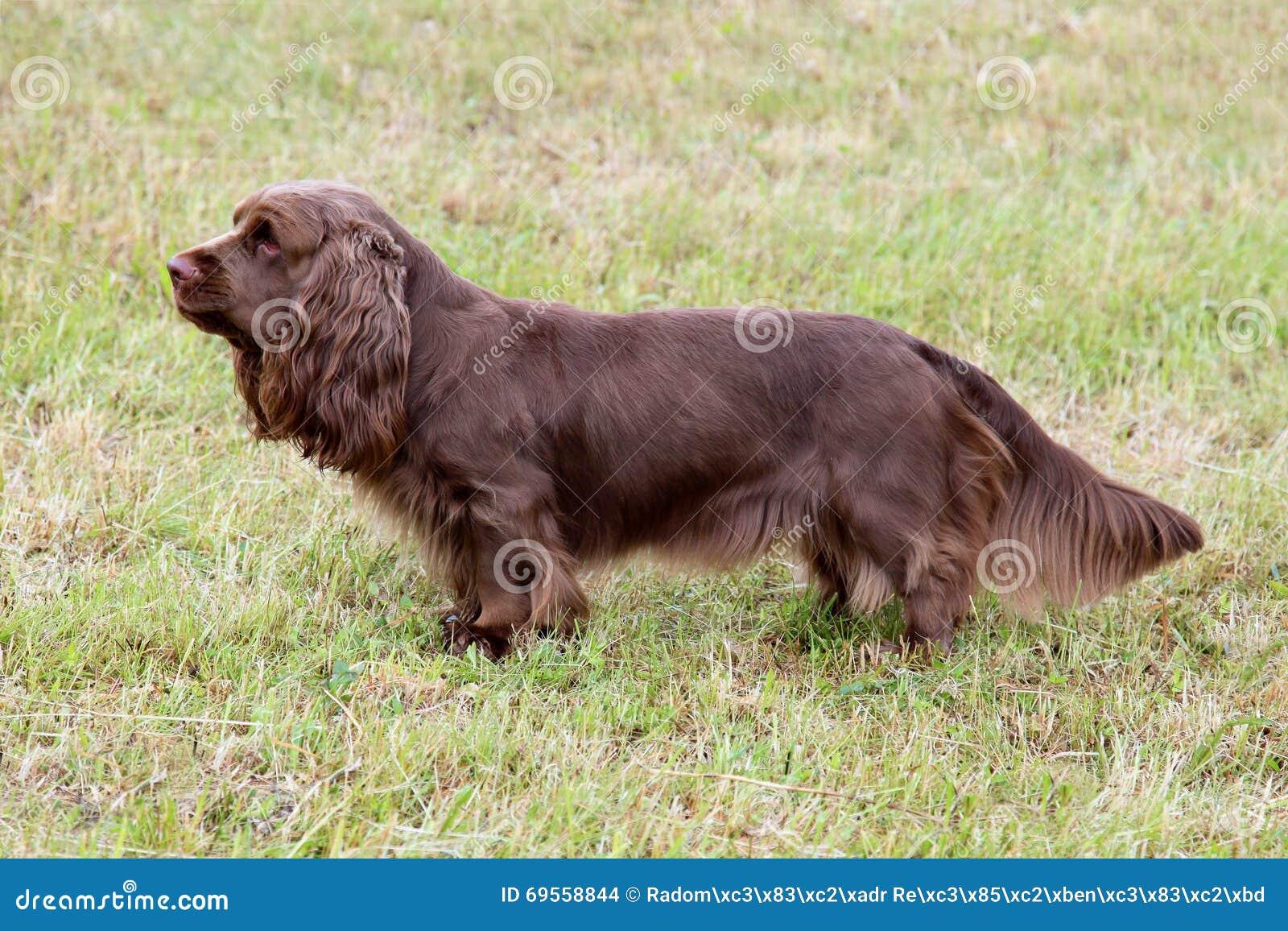 sussex spaniel puppies uk
