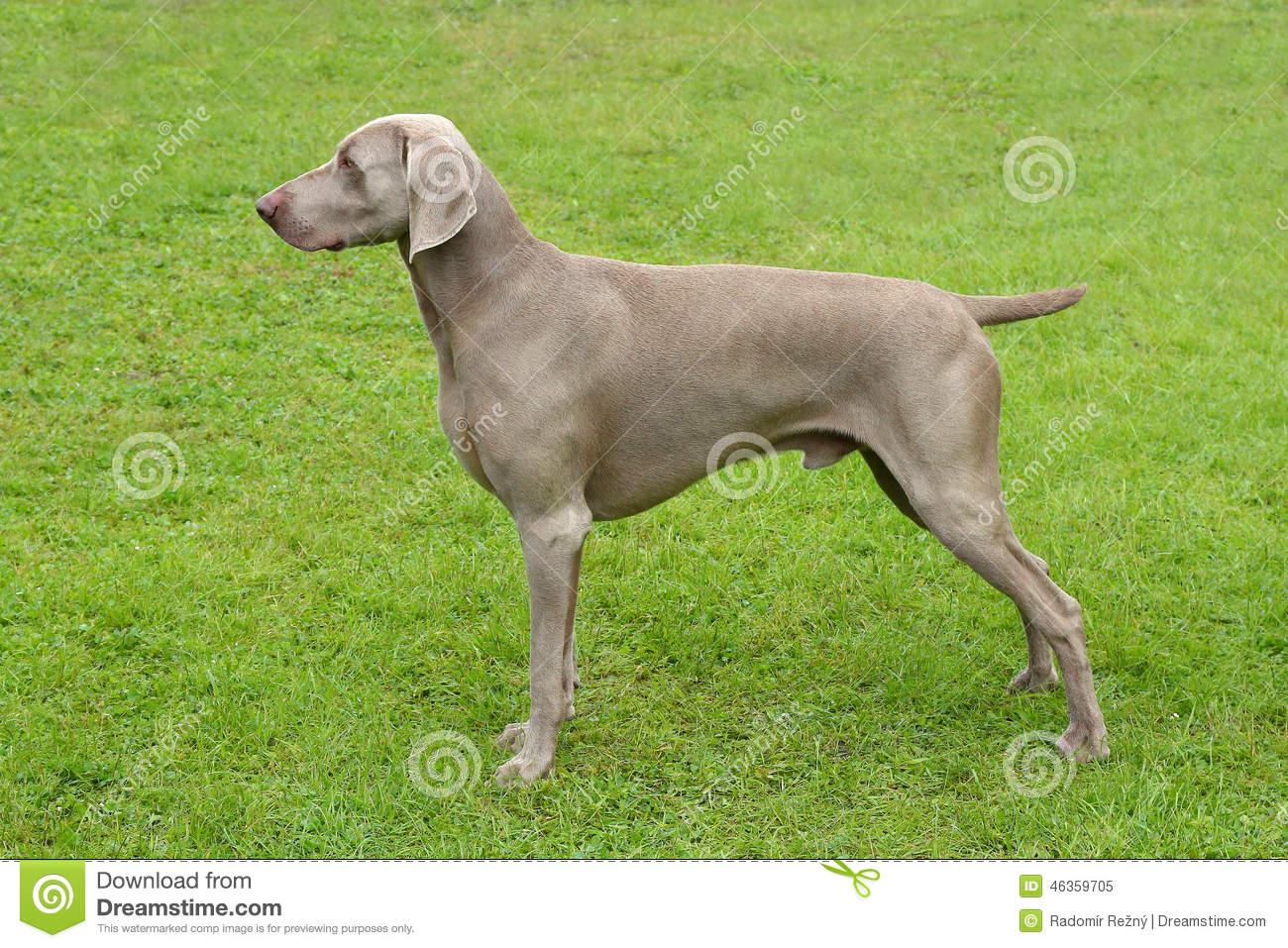 Typical Weimaraner Short-Haired Dog Stock Photo - Image: 46359705