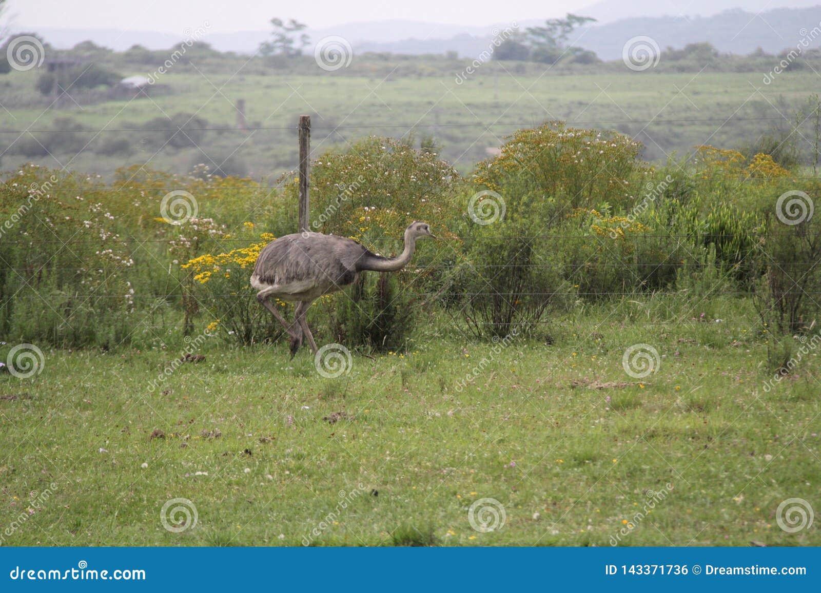 Typische vogel van zuidelijk Brazilië