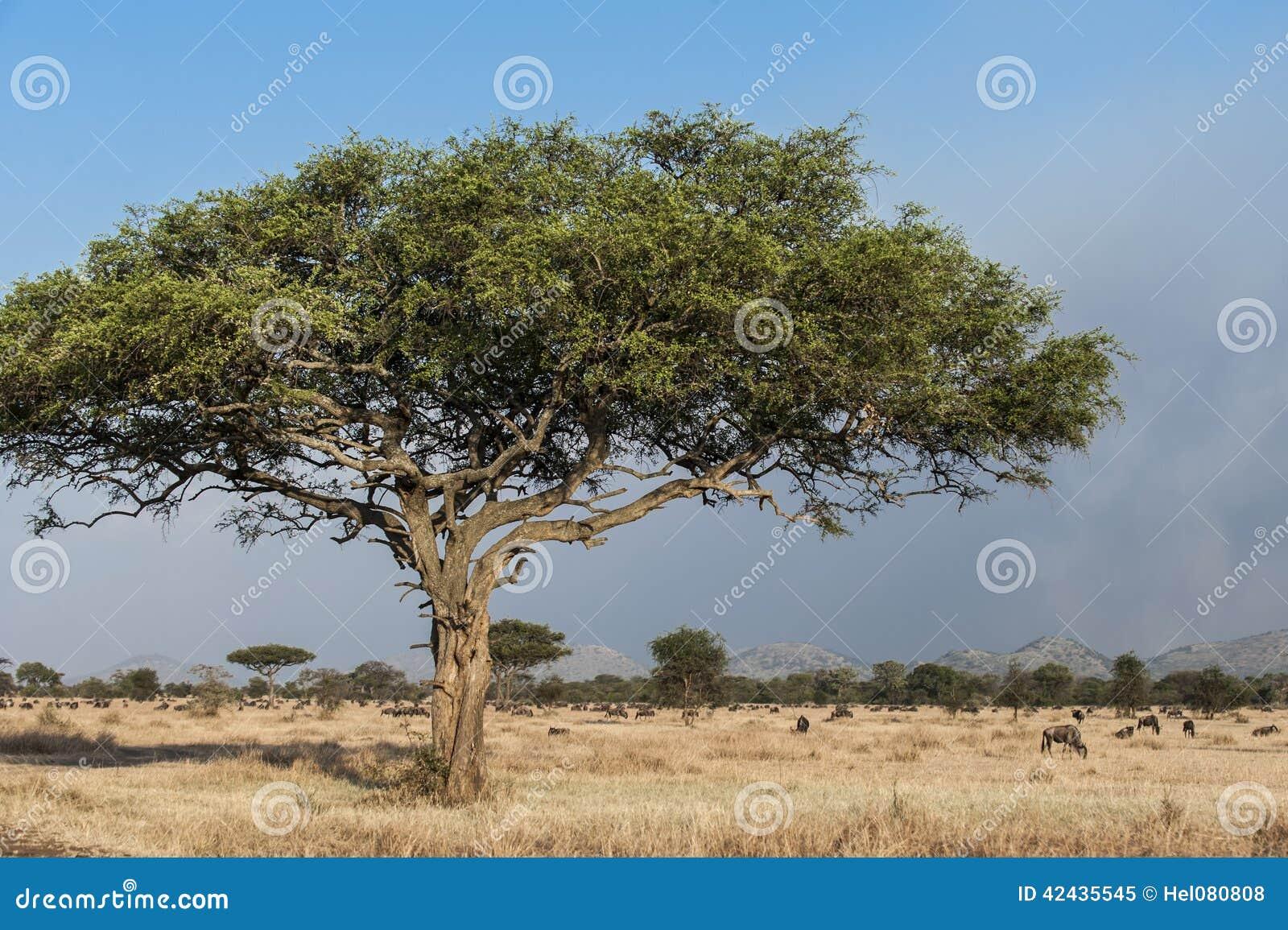 typischer baum in afrika stockfoto bild 42435545. Black Bedroom Furniture Sets. Home Design Ideas