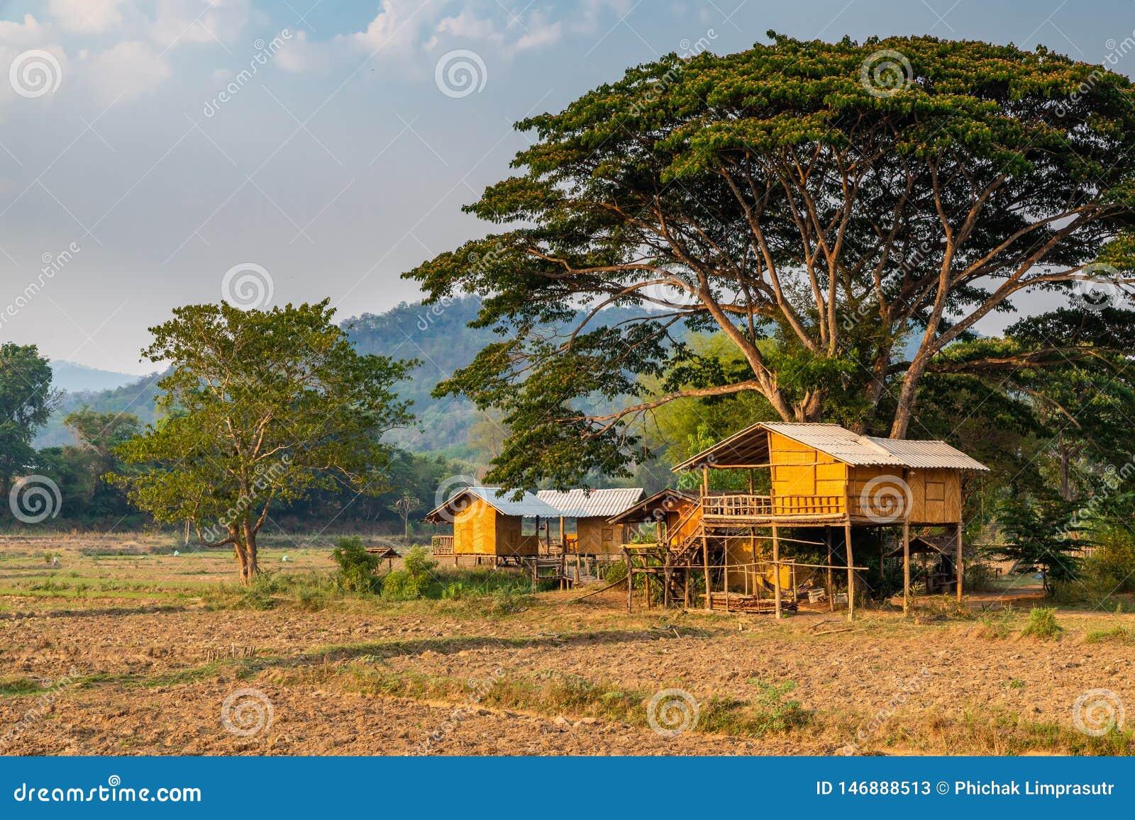 Typisches thailändisches Arthaus umgeben durch das landwirtschaftliche Feld errichtet unter großem Baum