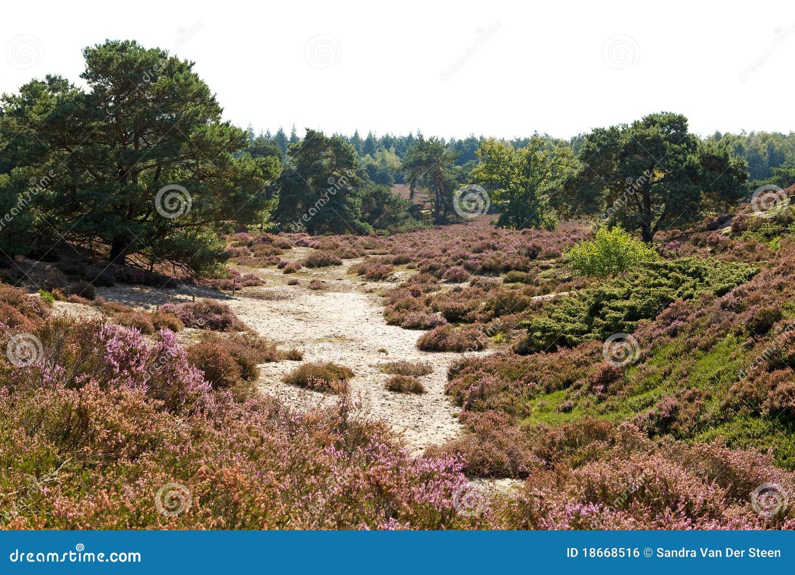Typisk holländsk heath för dyner