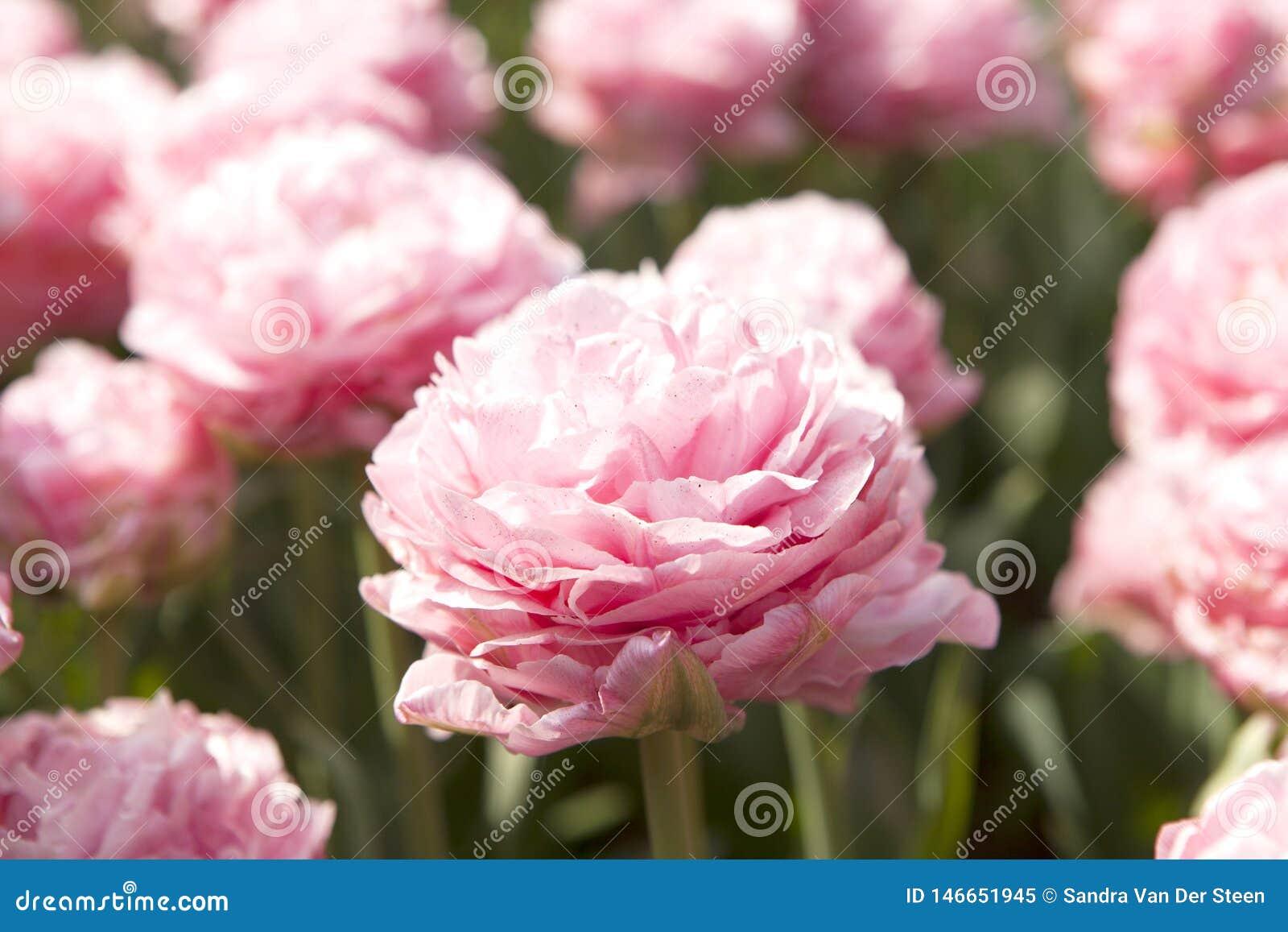 Typisk holländsk rosa tulpan i closeup