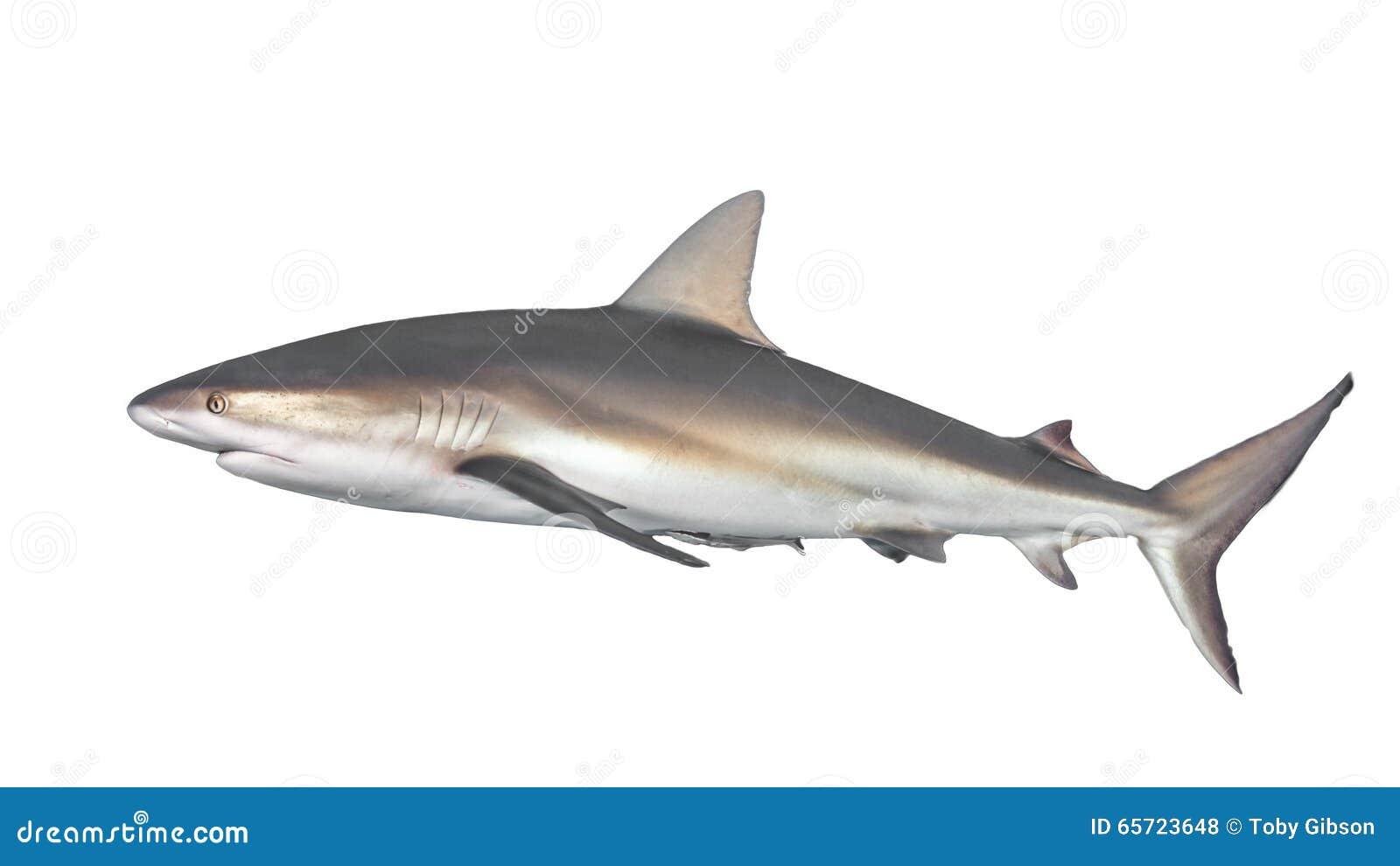 Typisk sida-på sikt av hajen