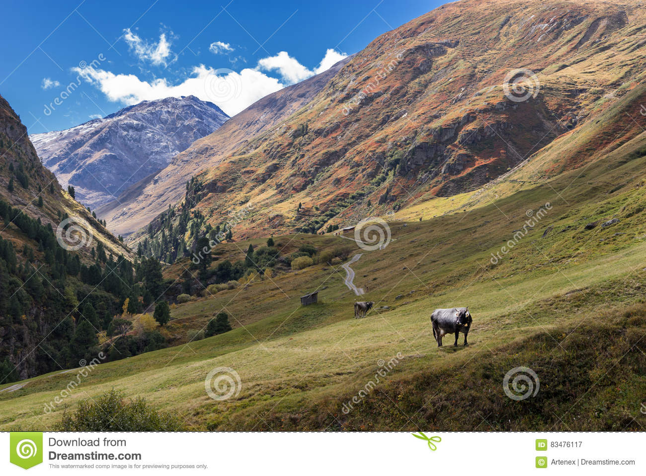 Tyrol Grey or Tyrolean Grey alpine cattle, milk cows on pasture. Colored hills, big mountains. Autumn in Vent Alps, Austria