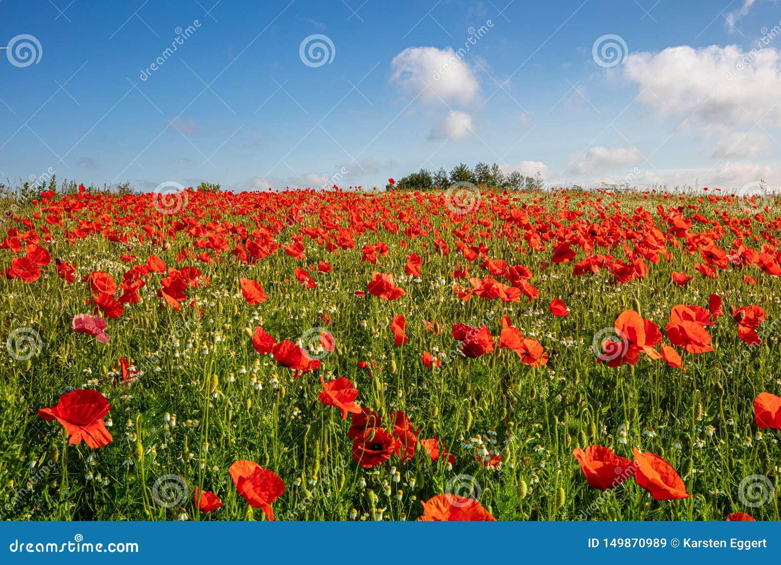 Tysiące czerwoni maczki stoi na łące słońce błyszczą i tam są biali chmury w niebieskim niebie