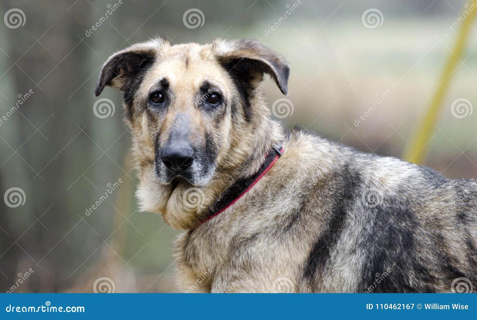 Tysk herde Dog, koppel och krage, hudvillkor, omänskligt som behandlas