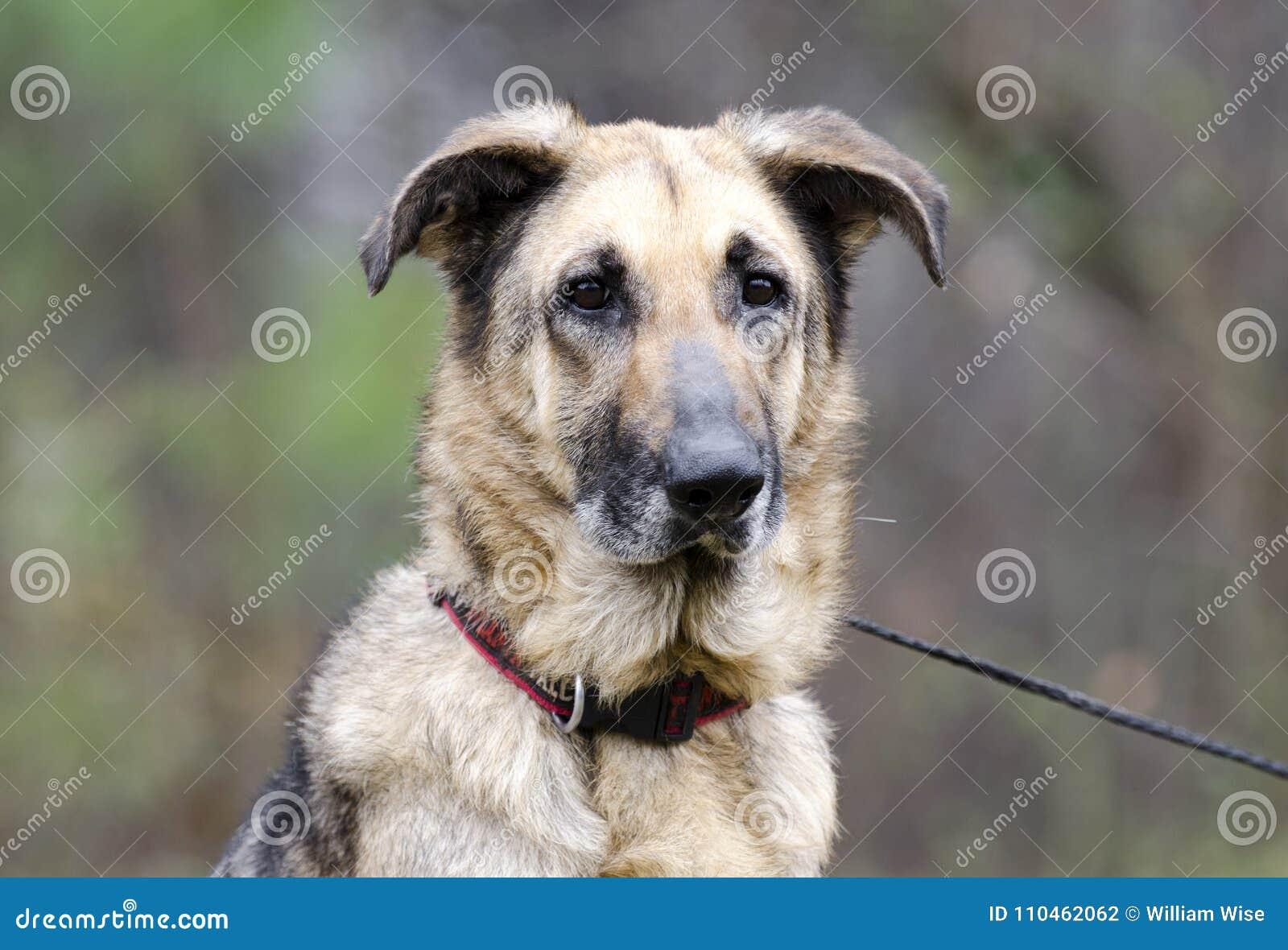 Tysk herde Dog på koppeln, hudvillkor, omänskligt som behandlas