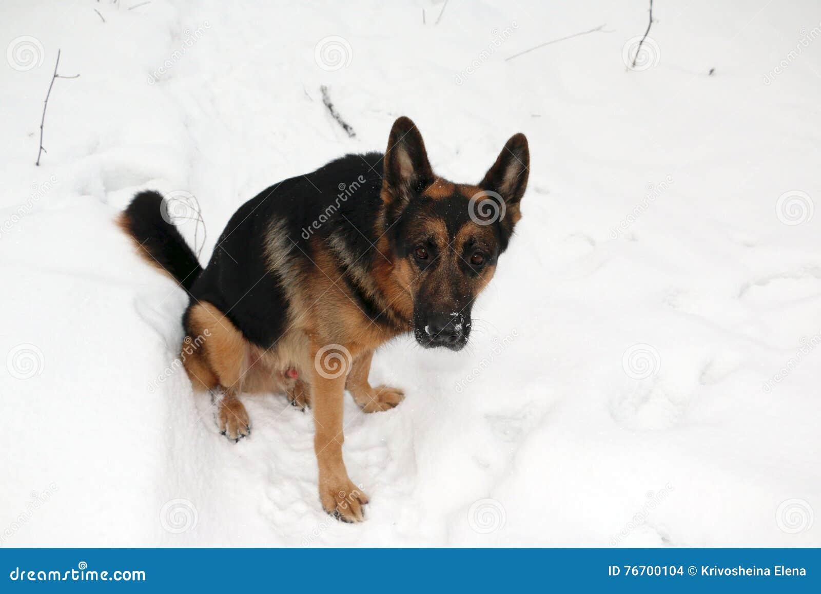 Tysk herde Dog på snö