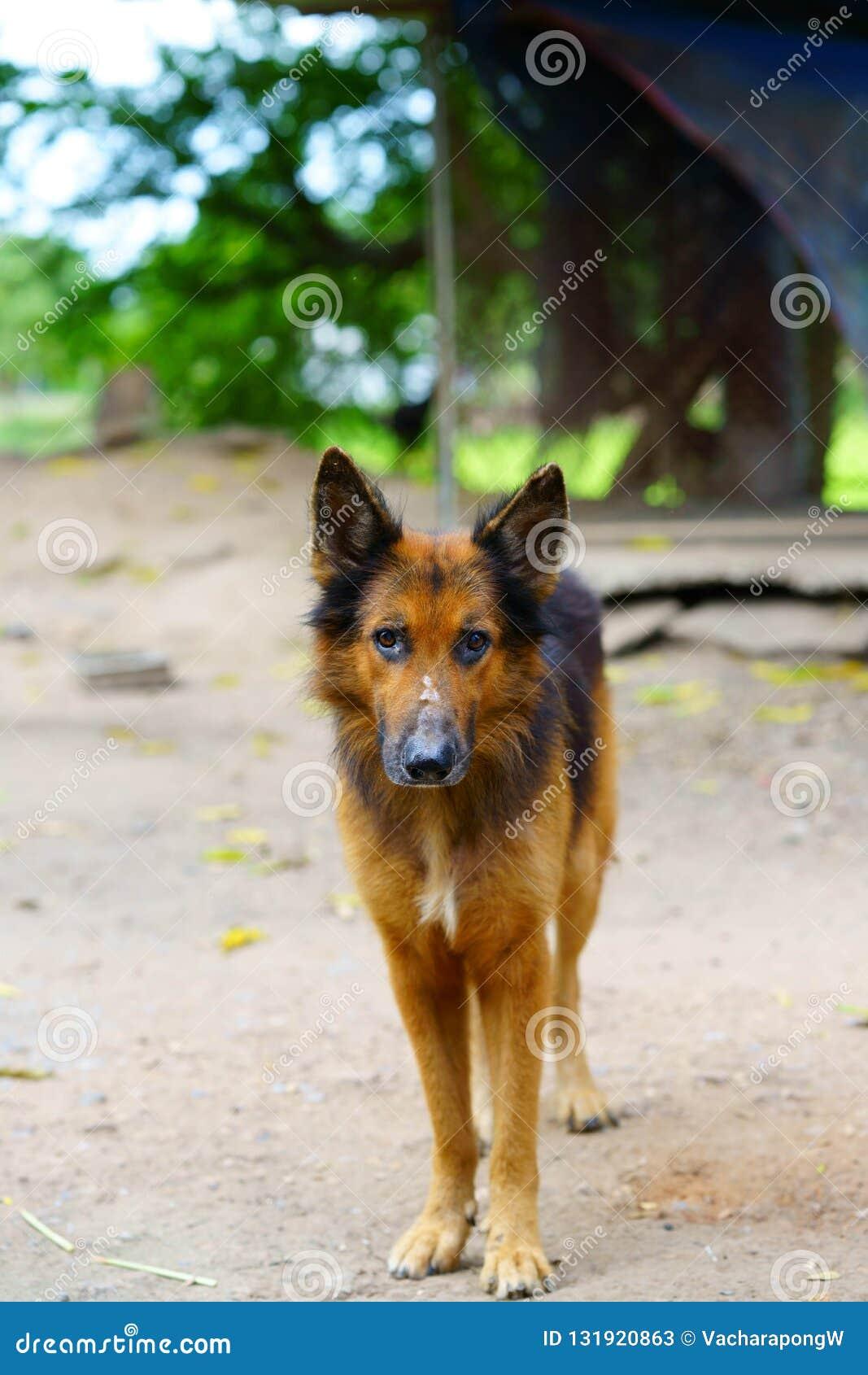 Tysk herde, elsassisk hundblick på kameran