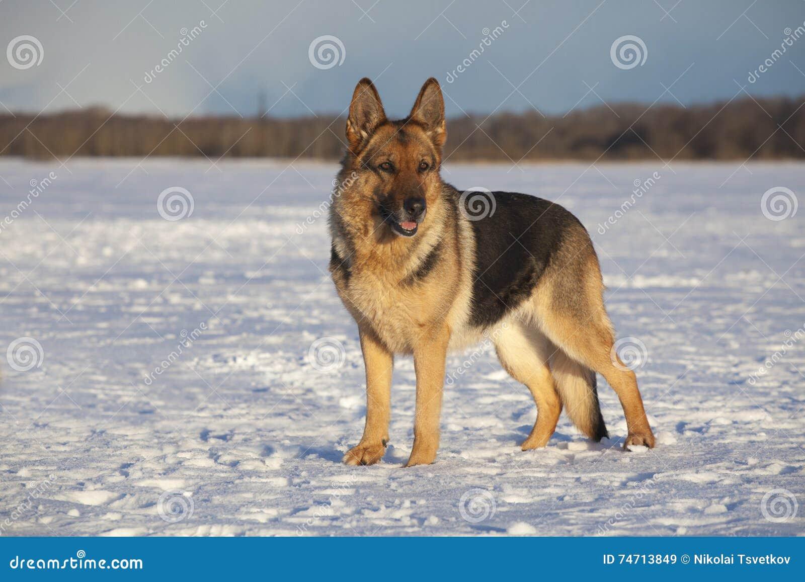 Tysk sheepdog