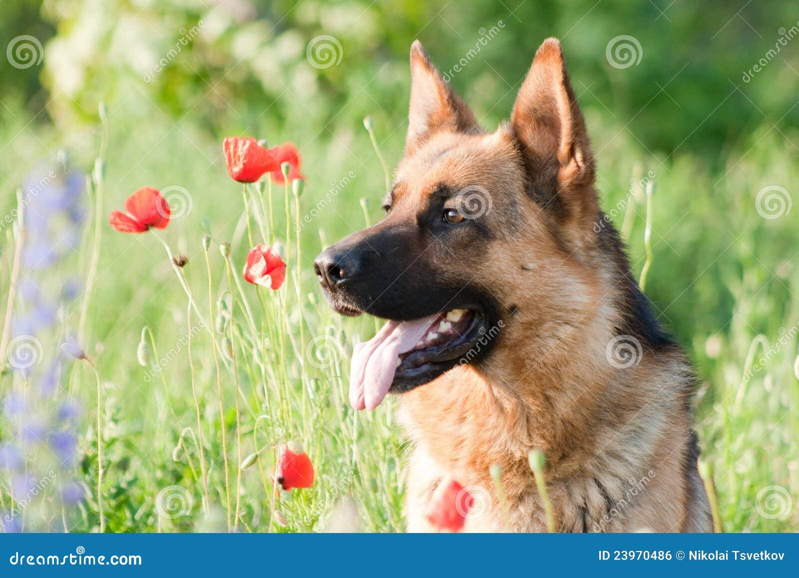 Tysk ståendesheepdog