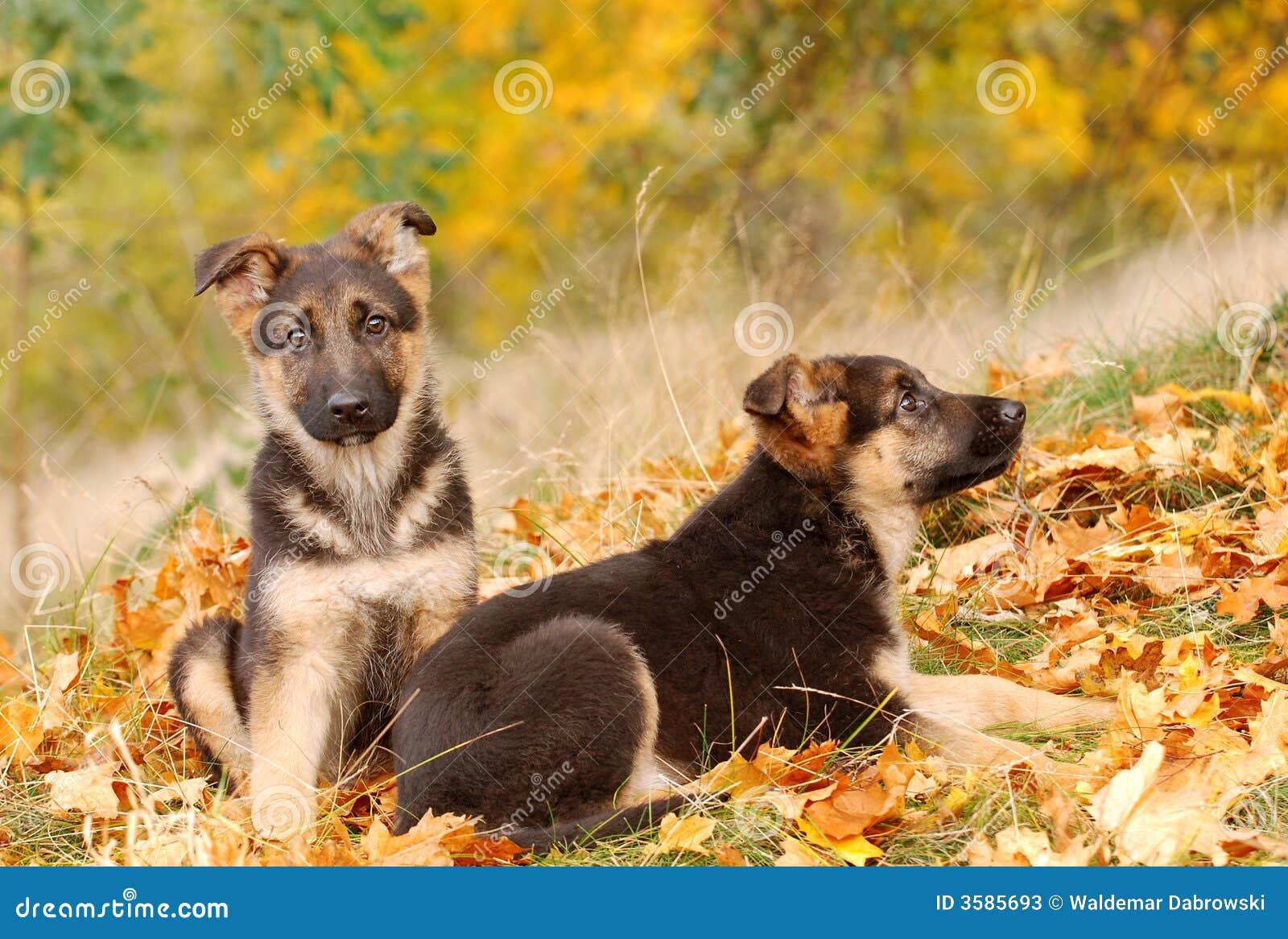 Tysk valpherde för hund