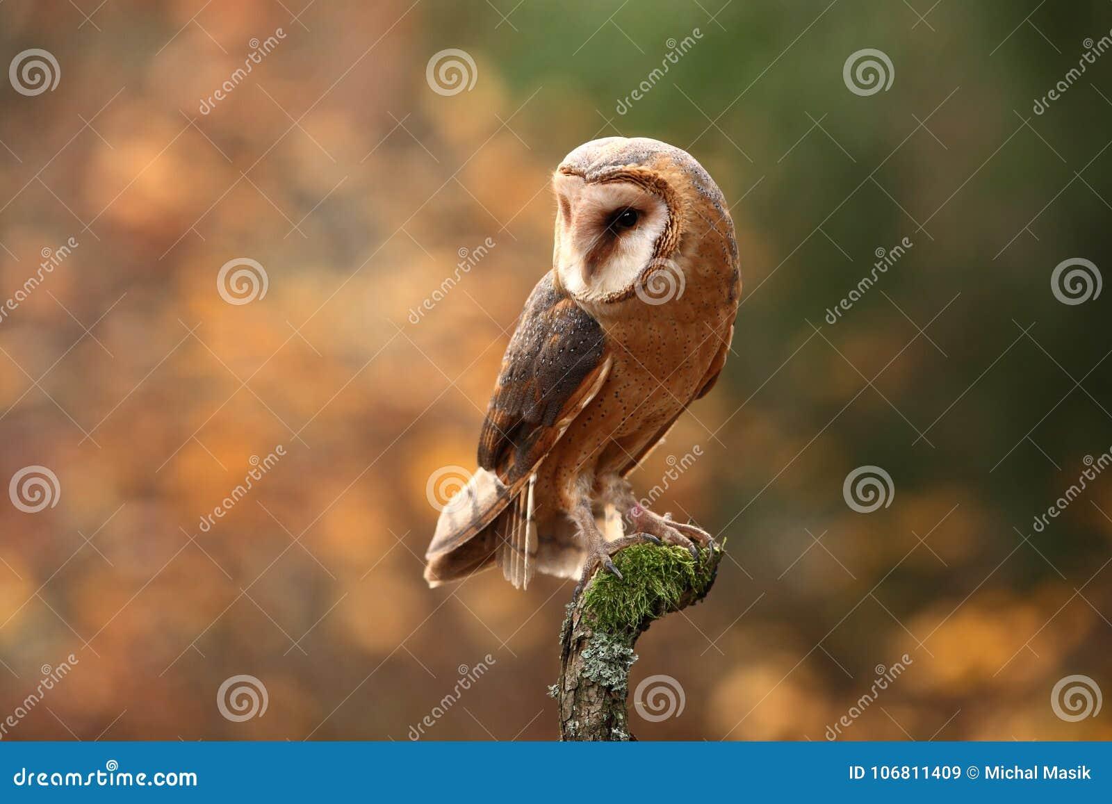 Tyto alba. Autumn nature. Wild nature of Czech. Owl in autumn nature.