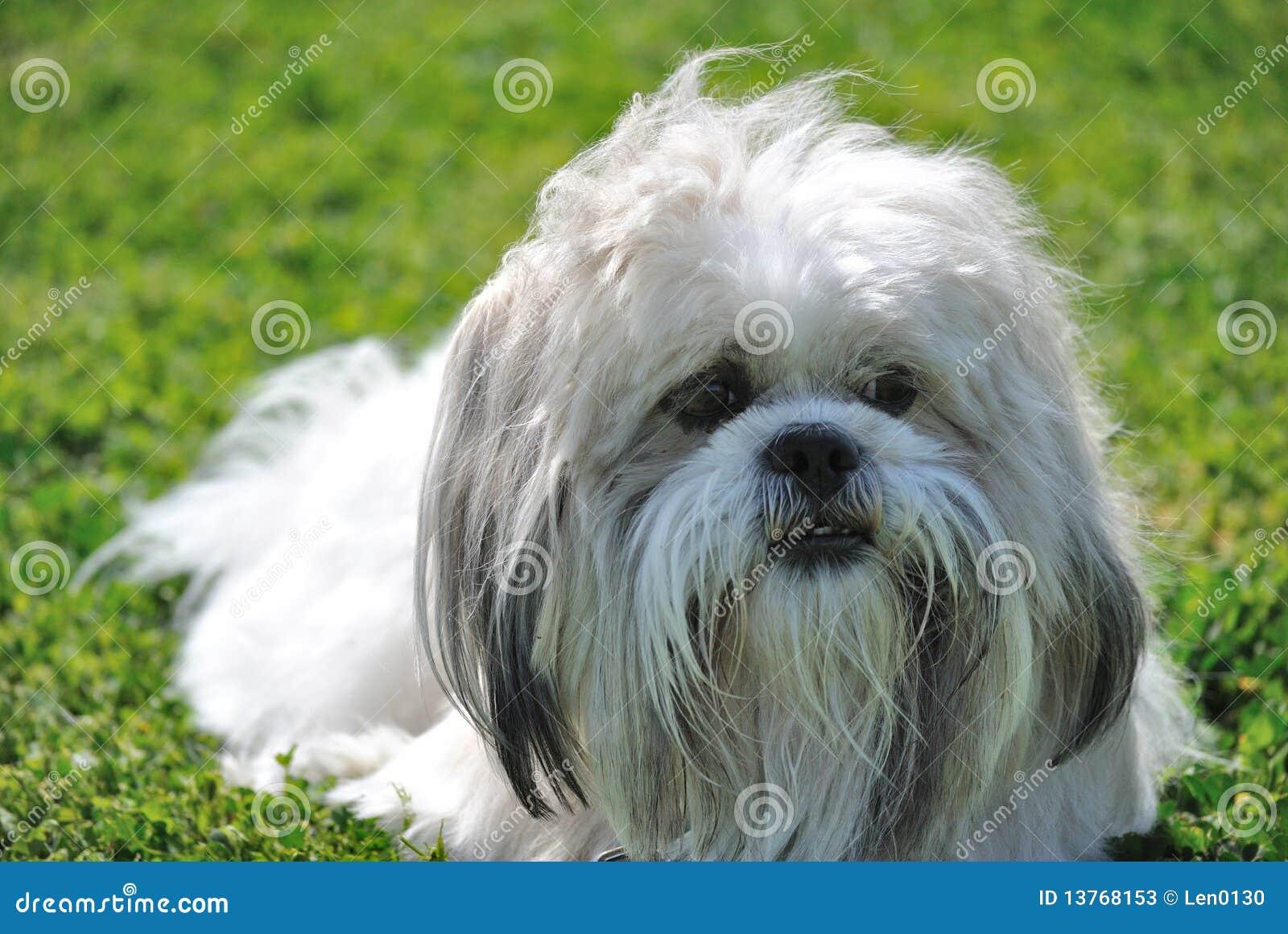 Tzu de Shih se reposant sur l herbe